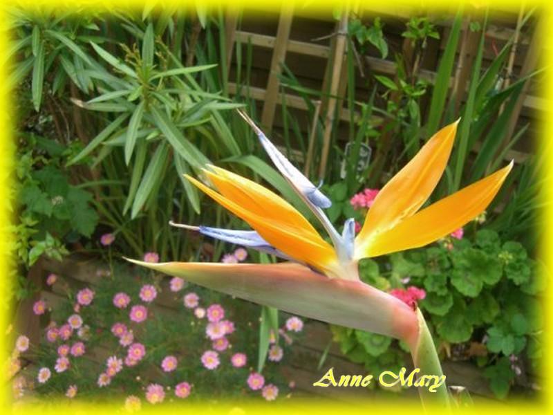 la fleur du paradis elle se nomme ainsi le lotus rose. Black Bedroom Furniture Sets. Home Design Ideas